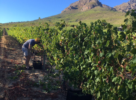 From the Vine: Hand Harvesting Grapes at Keermont.