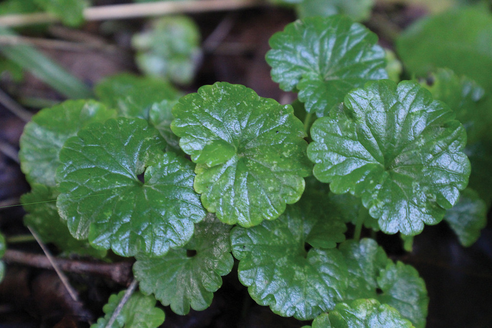 Ground Ivy sometimes used for headaches or minor scrapes