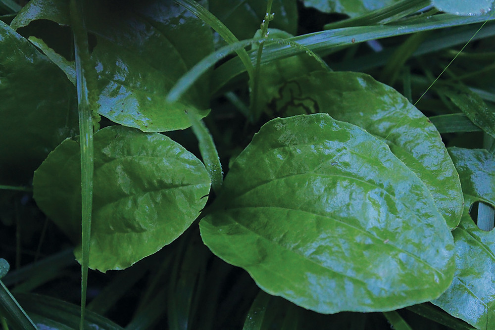Plantain, a leafy green weed often used in first aid