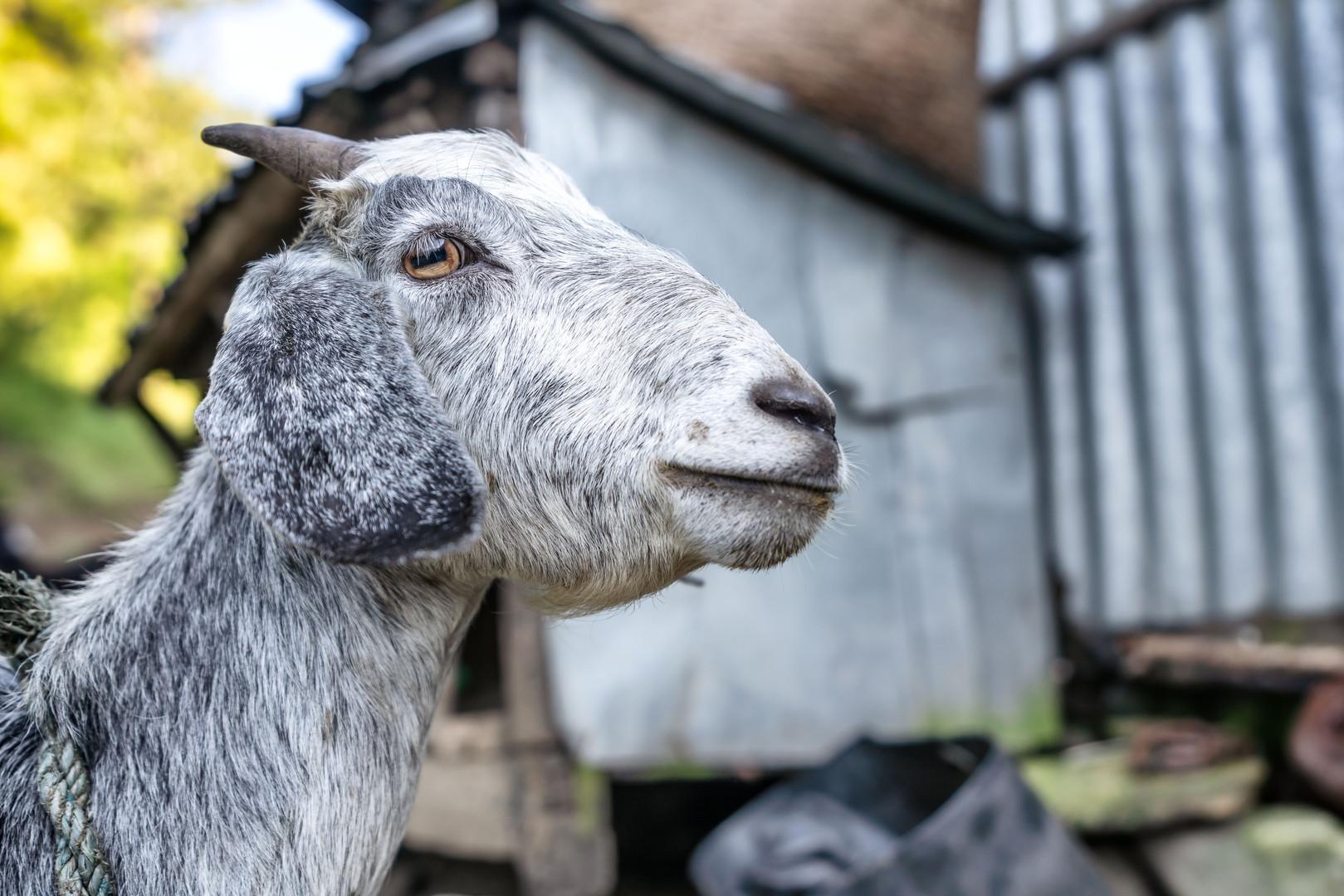 Goat in rural Nepal