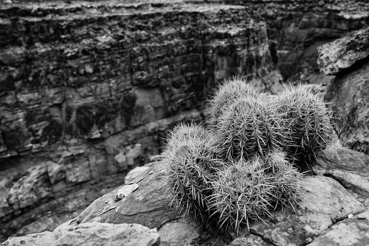 Cactus perched above Marble Canyon