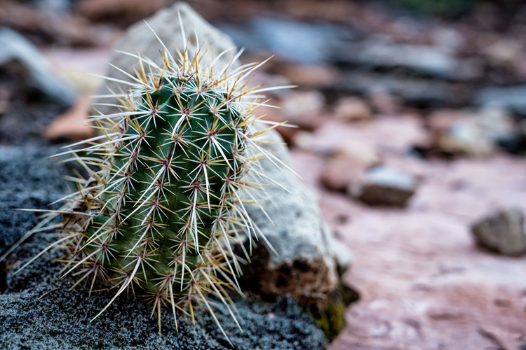 Cactus in Grand Canyon