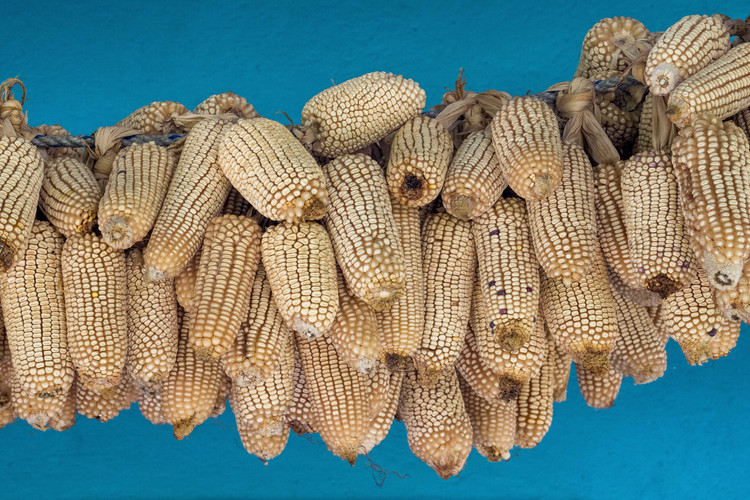 Corn hanging to dry