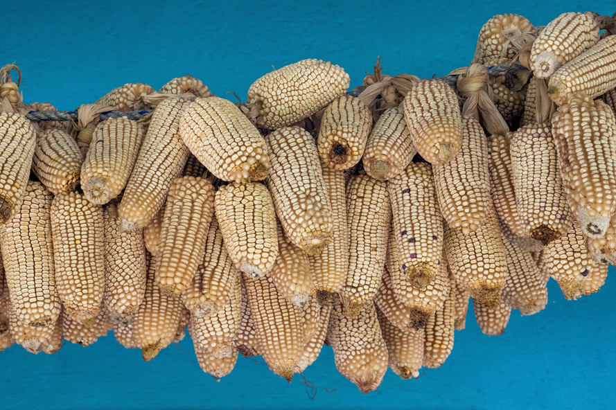 Corn hanging to dry