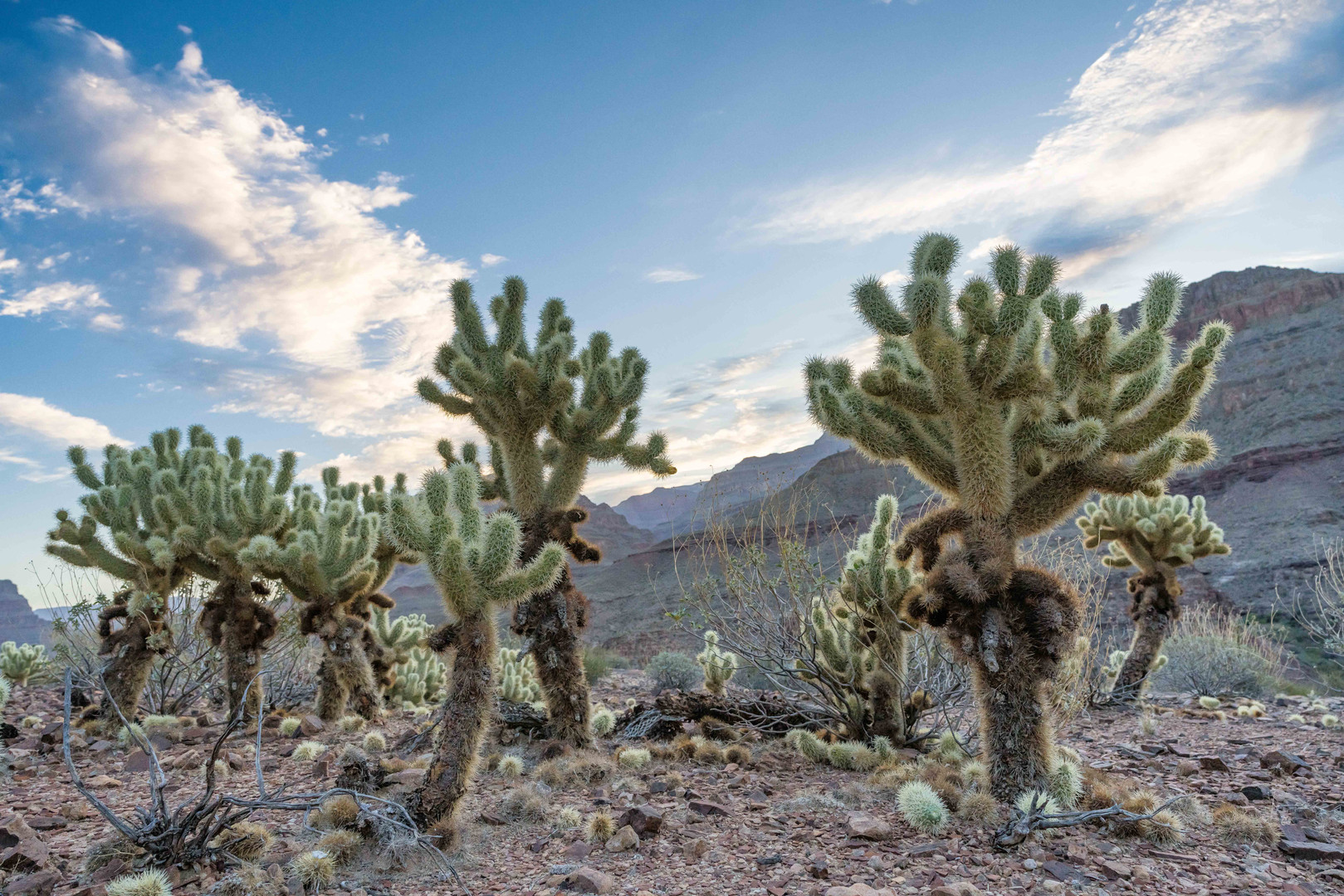 Cholla in western Grand Canyon