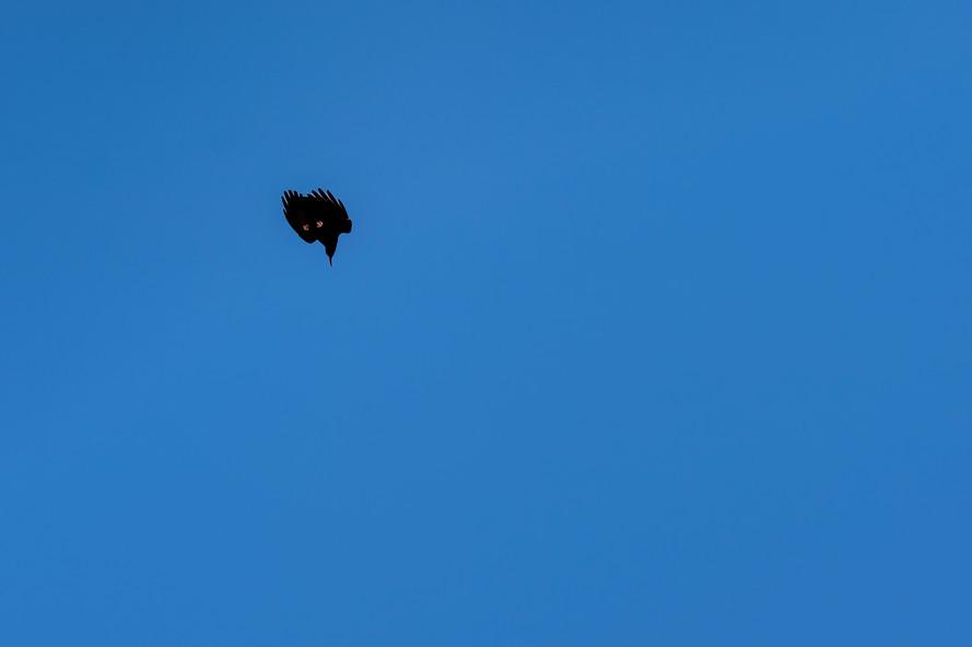 Acrobatic raven