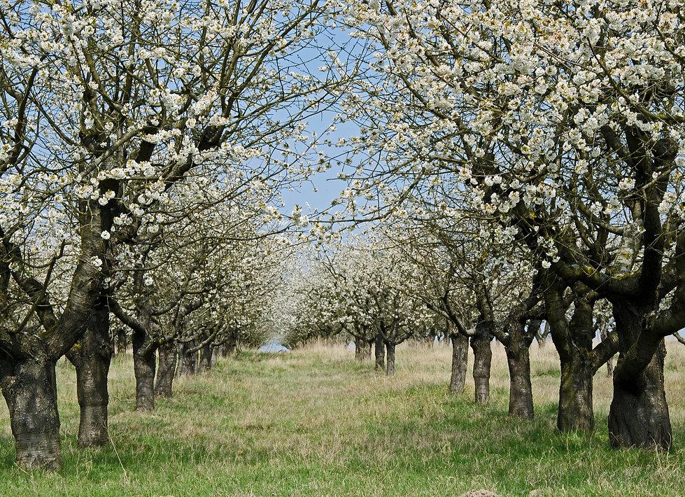 blossom-2193372_1920.jpg