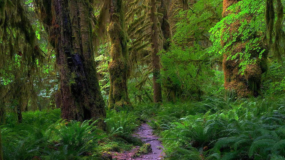Hoh Rain Forest, Olympic National Park - Paradox Travel  See complete itinerary at www.paradoxtravels.com    photo courtesy of Nic Stover Photography
