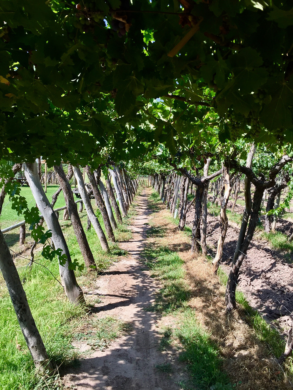 Different vine planting techniques here