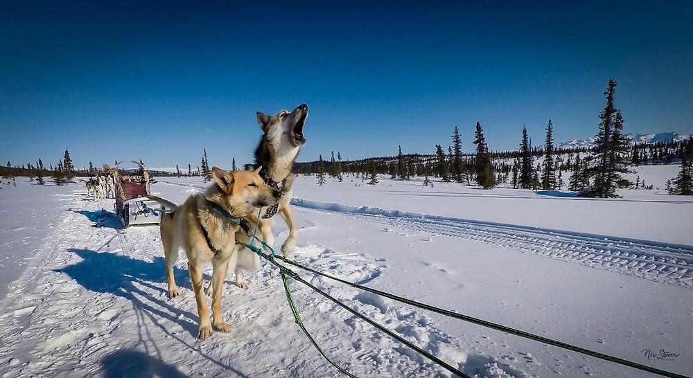 Alaska Dogsledding - Doug. www.paradoxtravels.com
