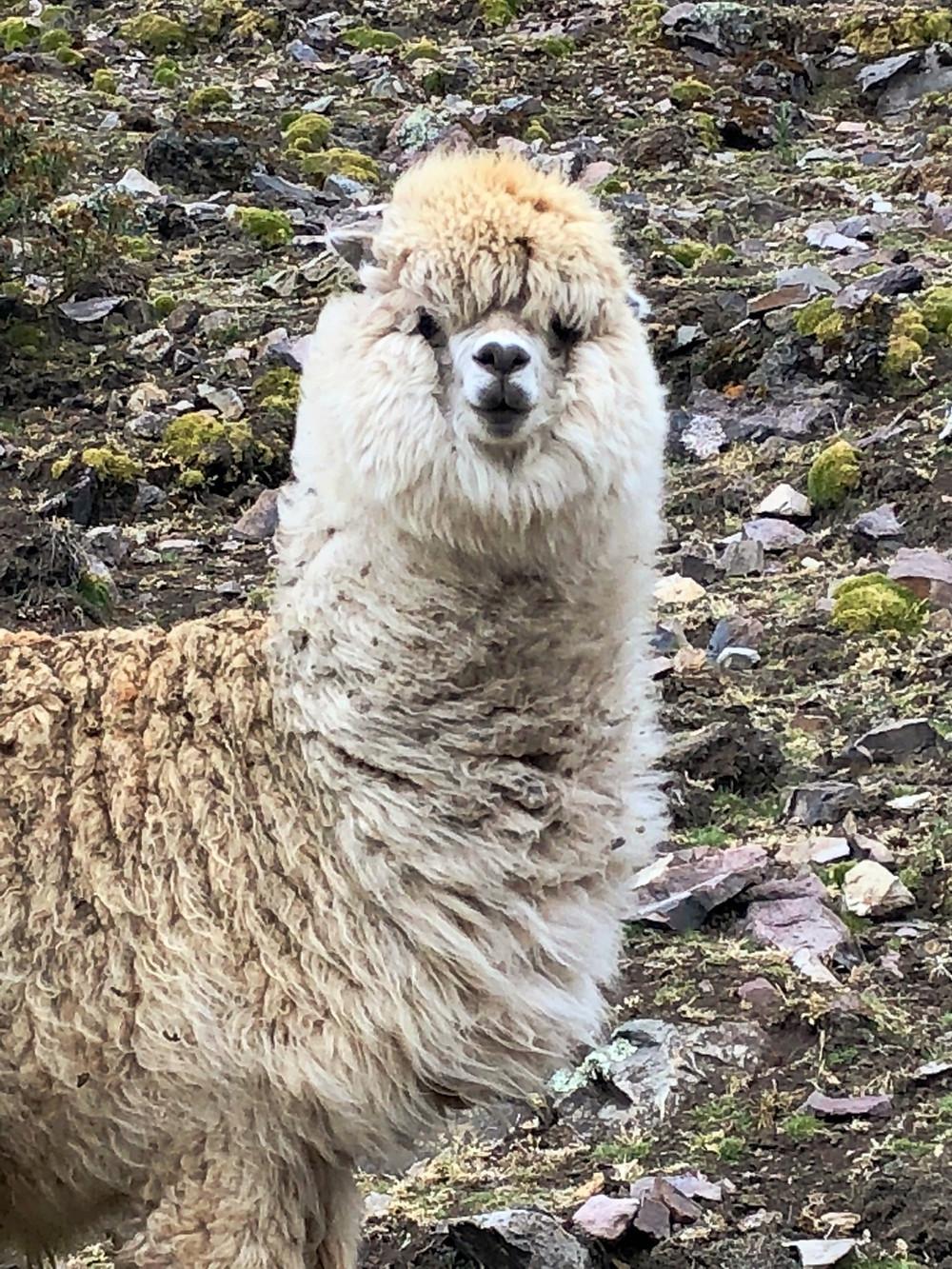 Wild alpaca, Sacred Valley, Peru - photo credit: www.paradoxtravel.com