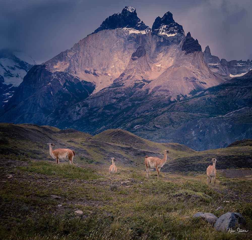 Guanacos in Torres del Paine National Park   photo credit: www.stoverphoto.com