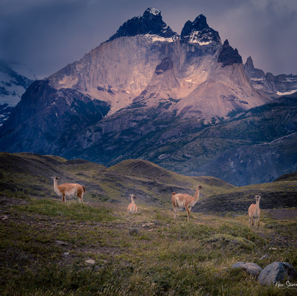 Guanacos and horns
