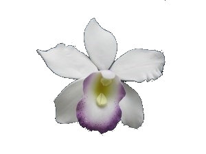 Pearly Orchids, White with Purple throat 3.5 inch, 3 pcs