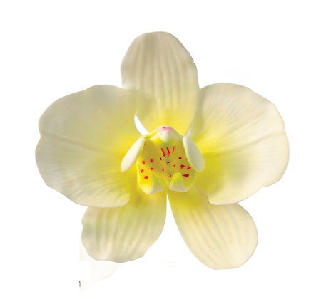 Moth Orchid, White with Yellow 3 inch