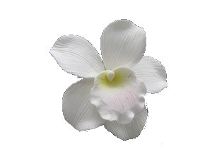 Cymbidium Orchid, White with Pink/Yellow throat 4 inch