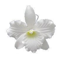 Elusive White Cattleya, White 3.5 inch