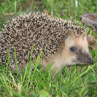 Hedgehog_germany0908_igel.jpg