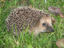 Hedgehog_germany0908_igel