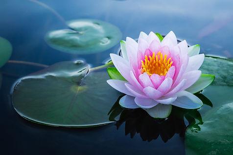 Beautiful pink waterlily or lotus flower
