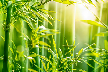 Bamboo forest in the morning.jpg
