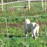 Bouboule - mâle - 3 ans - Bouledogue Américain
