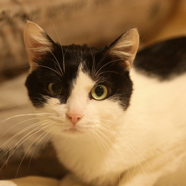 Felix le Chat - mâle - 2 ans