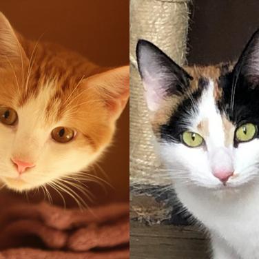 Tigro (roux) - mâle & Mimi (tricolore) - femelle - 9 mois