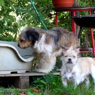Cooke - femelle - 1 an 1/2 - xBorder Terrier   Rouky - mâle - 2 ans - xShih Tzu