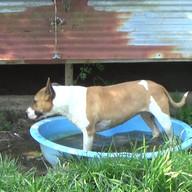 Prada - femelle - 6 ans 1/2 - xBull Terrier