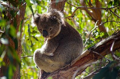 Arthurs Seat koala.jpg