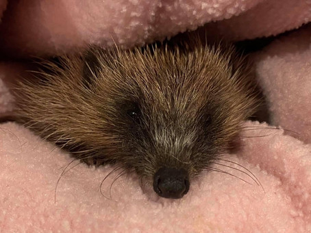 Look out for hedgehogs this autumn