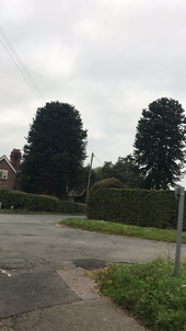 2 big monkey puzzles in Maresfield, East