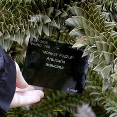 1. The Araucaria Project _screenshot video_Fiorella Angelini 2021.jpg