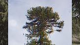 Araucaria Project Still _Pehuen_ low.jpg
