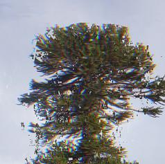 Araucaria Project Still _Pehuen_ low (1).jpg