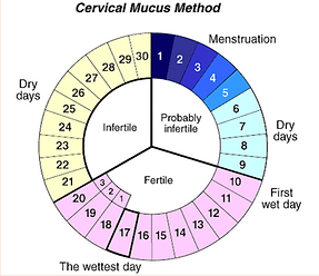 menstrual cycle phases-cervical-mucus