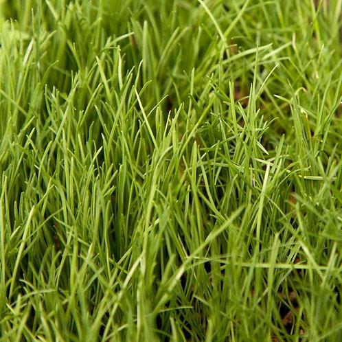 25kg Perennial Rye