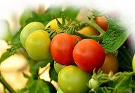 Odla tomater, gurka mm i vinterträdgården