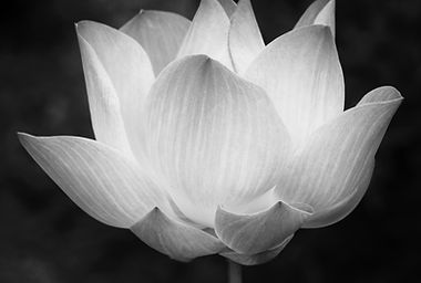 Lotus in black and white.jpg