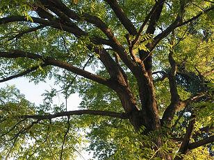honey-locust-tree-02-3-1556093-1279x959.