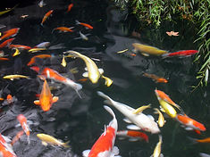 koi-fish-1535462-1280x960(1).jpg