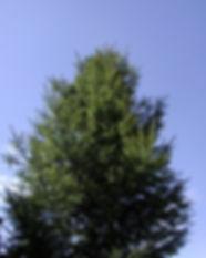 green-pine-blue-sky-1255591-639x800.jpg