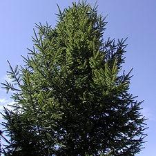 green-pine-blue-sky-1255591-639x800_edit