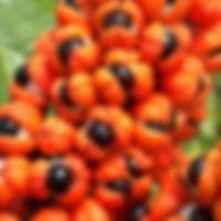 guarana-frucht_2.jpg