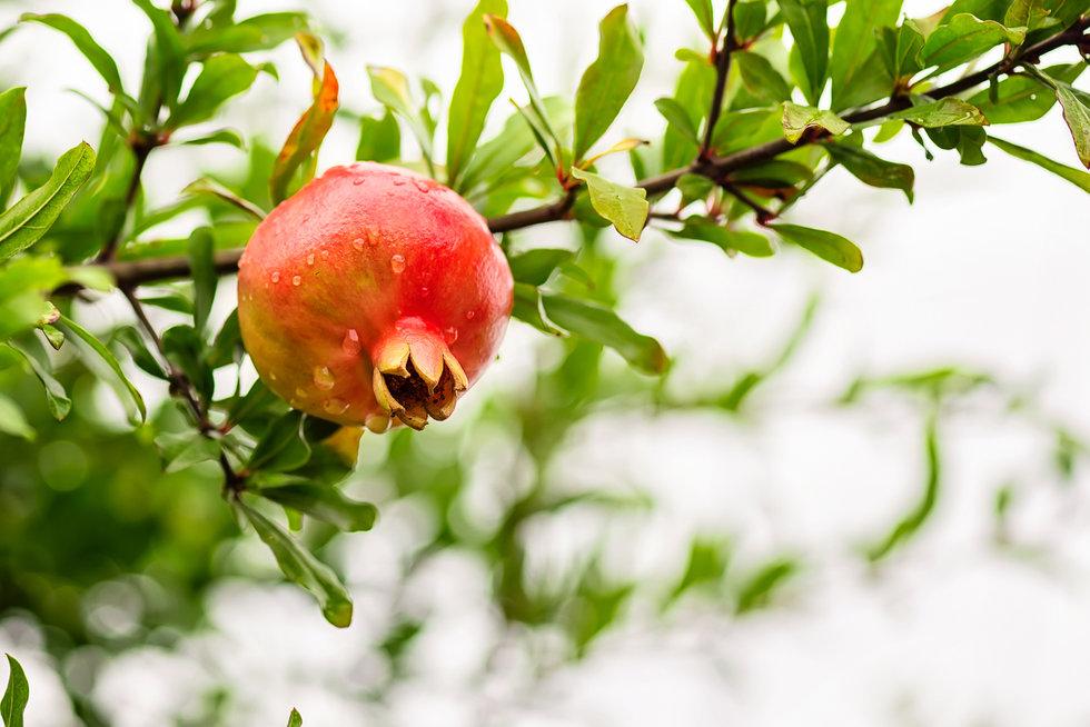 pomegranate-PYZCXM2.jpg