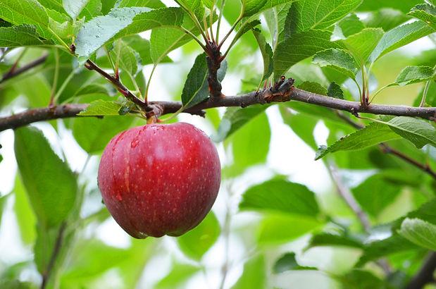 apple-on-the-tree-CQQMDNX.jpg