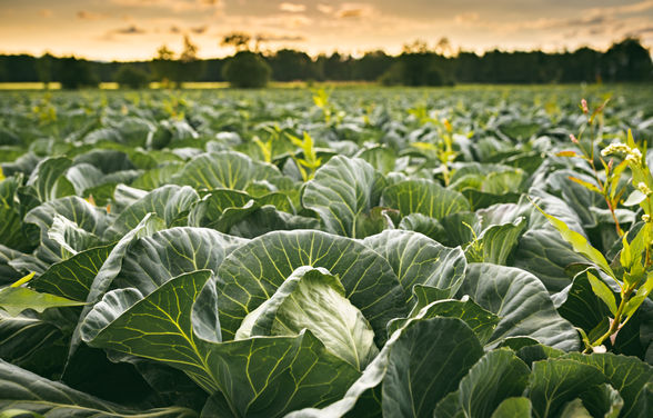 cabbage-field-in-a-sunset-light-agricult