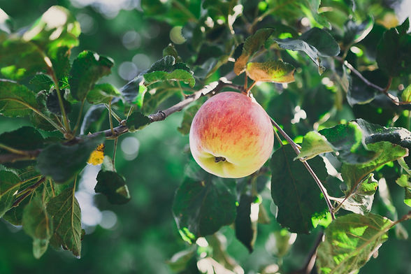 red-ripe-apple-on-branch-closeup-of-tree