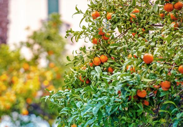 mandarin-trees-of-riviera-PBAETM8_1.jpg